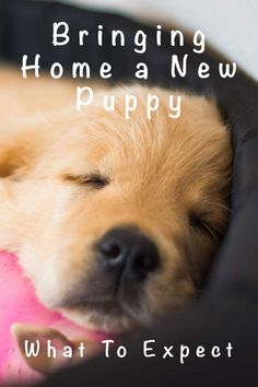8 week old puppy - Bringing home a new puppy, what to expect A complete guide to bringing a puppy home at 8 weeks old. What to expect, and how to care for your 8 week old puppy, including feeding and daily schedules. Labrador Puppy Training, Puppy Training Tips, Training Your Dog, Golden Retriever Training, Labrador Puppies, Training Schedule, Potty Training, Goldendoodle Training, Fox Red Labrador Puppy