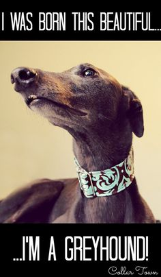 Greyhound Bella, is sporting the stunning debonair hound martingale collar, from Collar Town.