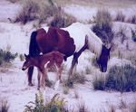 Assateague Island - Wild ponies.