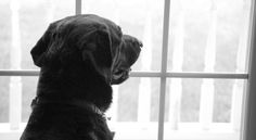 Foster Dogs: A Guide To Dog Fostering - The Labrador Site