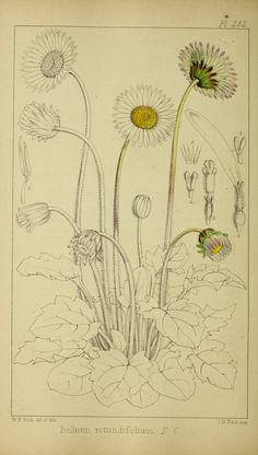 v.4 - Refugium botanicum : - 1871 - illustration by the amazing W H Fitch - Biodiversity Heritage Library