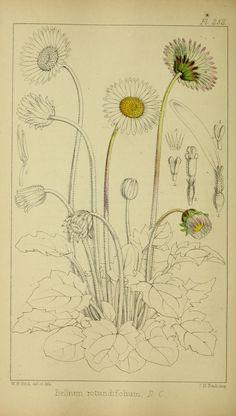 v.4 - Refugium botanicum : - 1871 - illustration by the amazing W H Fitch - Biodiversity Heritage Library