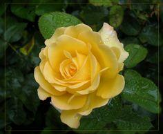 yellow rose by angoma.deviantart.com on @deviantART