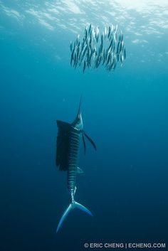 Atlantic sailfish (Istiophorus albicans) drives sardines to surface by echeng.