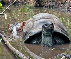 Elderly Tortoise and Young Hippo