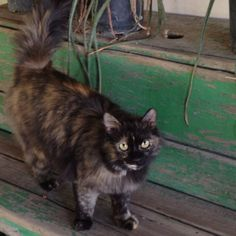 Tortie cat at Rock Springs... Ohmagheeerd it looks like my Guinness! Maine Coon Power!
