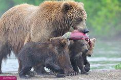 Large black bear 2015 2016 Life Antarctic animals http://www.yoummisr.com/large-black-bear-2015-2016-life-antarctic-animals/