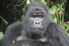 """""""Gorilla"""" by Greg Brown: This photo taken when trekking in the Virunga Mountains of Rwanda. We came across a family of about 23 gorillas — the boss silverback, females with young, and several junior males. It was a great experience being able to be in the presence of such creatures!"""