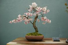 Beautiful cherry blossom bonsai - I would love this for the house or work