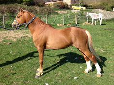 Moeltryfan Ginger Boy Pure Welsh Section B Stallion
