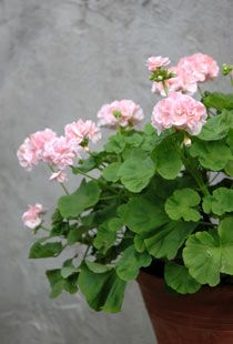 I love geraniums, any color but always in terracotta pots.