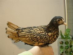 Pippa is a Golden Sebright with black lacing on a background of golden brown.