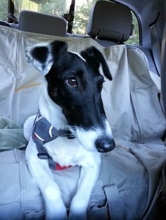 My buddy Gibbs. Smooth Fox Terriers, Cartoon Photo, The Fox And The Hound, Puppys, Collie, Dog Stuff, Beautiful Creatures, Small Dogs, Dog Breeds