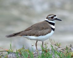 Killdeer Charadrius vociferus ORDER: CHARADRIIFORMES FAMILY: CHARADRIIDAE Used to see these near our house in Idaho. Seen on a few occasions near ponds in PA
