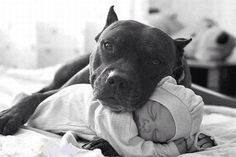PitBulls are awesome