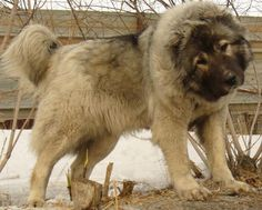 Caucasian shepherd dog - used for guard work, hunting bears and shepherding. This is a WORKING dog. Giant Dogs, Big Dogs, Large Dogs, Cute Dogs, Dogs And Puppies, Doggies, Caucasian Dog, Caucasian Shepherd Dog, Caucasian Mountain Dogs