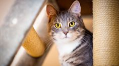 Curious cat, yellow eyes, fur wallpaper