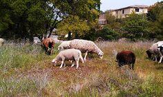 Love the sheep eating down the weeds!  baaaaa  ~ ~ ~