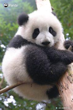 Chinese national treasure giant panda The giant panda (scientific name: Ailuropoda melanoleuca) belongs to the only mammals of the carnivora, the bear family, the giant… Wild Panda, Niedlicher Panda, Panda Bebe, Panda Funny, Animals For Kids, Cute Baby Animals, Panda Kindergarten, The Bear Family, Baby Panda Bears