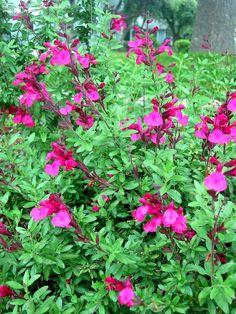 grewia occidentalis lavendel sternbl te kreuzbeere pflanzenlexikon steckbriefe green24. Black Bedroom Furniture Sets. Home Design Ideas