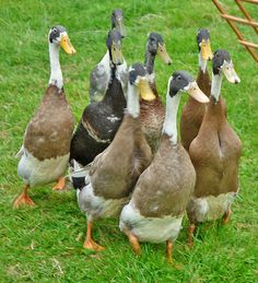 Runner Ducks, these are the kind of ducklings I'm currently looking for. I don't know why but they make me laugh every time I see them. I mean no, I'm getting them for the educational value . . . erm, I mean eggs.