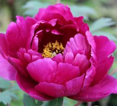 Caring For Tree Peonies - How to Get the Best From Your Tree Peony