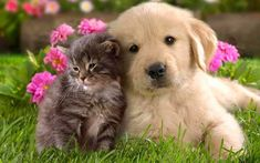 Golden retriever puppy and kitten wallpaper Cute Animals With Funny Captions, Cute Animals Puppies, Cute Animal Memes, Cute Animal Videos, Cute Cats And Dogs, Cute Animal Pictures, Cute Baby Animals, Cute Puppies, Cute Animal Drawings