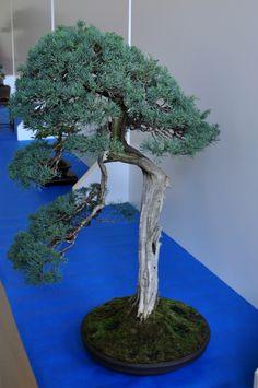 34 Best Bonsai Images On Pinterest Bonsai Bonsai Trees And String