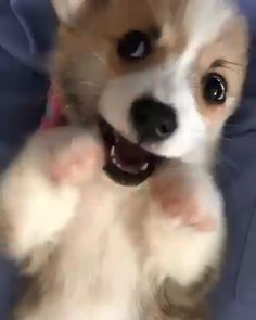 Cute Corgi Dog& Corgi Dogs& Corgis& Dogs& Doggies& Overload& Pets& Corgi love& Corgi lover& Corgi lovers& Corgi Doggies& lovers& community& welsh corgi& Pictures& Corgi Disorder& The post Cute Corgi Dog Baby Corgi, Cute Corgi Puppy, Corgi Dog, Husky Puppy, Pomeranian Puppy, Puppy Love, Chihuahua, Funny Animal Videos, Cute Funny Animals