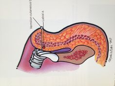Lip cross section with arterial supply