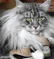 images of maine coon cats - Bing Images