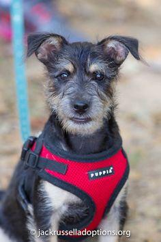 Georgia Jack Russell Rescue, Adoption and Sanctuary | Adoptable Schnauzer Mix Puppy, Thor