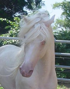 Cremello Horse.  You cannot have a true albino horse.  They have to have red eyes to be albino and there are no true albinos in the equine world.  There are some that are not albinos but are called lethal white as they die with in a day of birth.