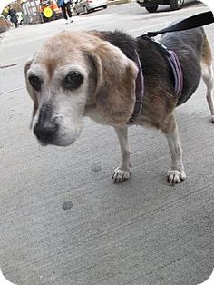 Senior Beagle Agnes is looking for a new forever home!  if that's with you &  you'd like to meet Agnes she's with Humane Society of New York Phone:(212) 752-4842 ~~ http://www.adoptapet.com/pet/8157847-new-york-new-york-beagle