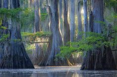 Caddo Lake, 25,400 acres, site of the world's largest cypress forest surrounded by a maze of swamps and bayous on the border of Louisiana and Texas. Home to alligators, beaver, eagles, herons, egrets, and so on. uncredited photo.