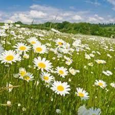 Wild flower meadow - Google Search