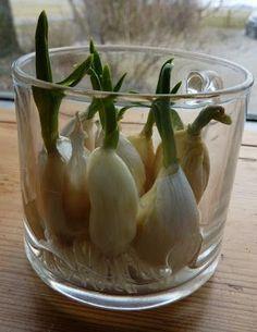 """Knoflook ( Allium sativum) en door kruidengenezers uit het oude Griekenland ook wel """"de stinkende roos"""" genoemd, is één van de belangr..."""