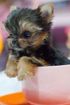 Yorkie Tea cup pomeranian, adorable, I want this dog! Tiny Puppies, Cute Puppies, Cute Dogs, Yorkies, Pomeranians, Yorshire Terrier, Top Dog Breeds, Yorkie Puppy, Tea Cup Yorkie Puppies