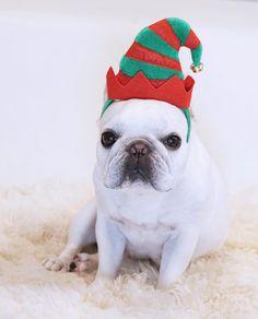 French Bulldog rocking the Christmas Elf style