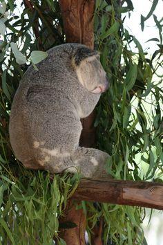 Koala from the Steve Irwin zoo, Australia