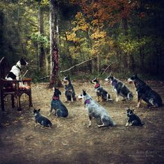 One of my latest images titled Pack Leader. Starring my entire crew of fosters and permanents.