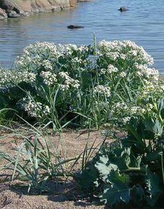 Merikaali, Crambe maritima - Kukkakasvit - LuontoPortti