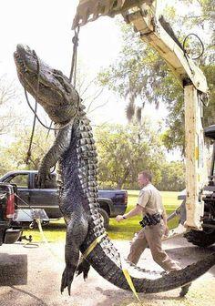 snopes.com: 28-Ft. Florida Alligator // real photograph inaccurate description.. click for article