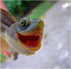 smiling animals will make you smile Smiling Animals, Happy Animals, Funny Animals, Cute Animals, Laughing Animals, Crazy Animals, Happy Turtle, Turtle Love, Cute Animal Photos