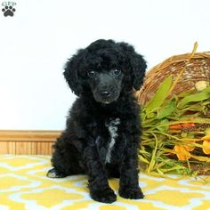 Search no further, this is the Airedale Terrier puppy you have been looking for. Reno is very fluffy and is a bundle of joy. He is family raised around Mini Poodle Puppy, Poodle Puppies For Sale, Mini Poodles, Cute Puppies, Dogs And Puppies, Retriever Puppy, Dogs Golden Retriever, Online Pet Supplies, Dog Supplies
