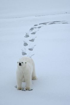 'Curious Polar Bear' - photo by Algot Kristoffer Peterson (Algot Foto), via Flickr;  Svalbard, Norway
