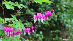 """Download the royalty-free video """"Beautiful bleeding heart flowers in the wind, HD footage"""" created by JulietPhotography at the best price ever on Fotolia.com. Browse our cheap image bank online to find the perfect stock video clip for your marketing projects!"""