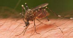Vil myggene ikke lade dig være i fred? Der er 1 tip som er lægerne mener er det klart bedste