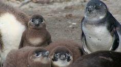 African penguin survival
