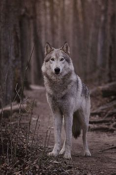 The Wolf look at you Beautiful Wolves, Animals Beautiful, Cute Animals, Wolf Poses, Wolf Hybrid, Wolf World, Wolf Husky, Wolf Photography, Wolf Artwork